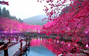 japan-cherry-blossom